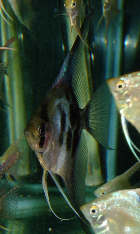 A Few Angelfish images Dscf0111