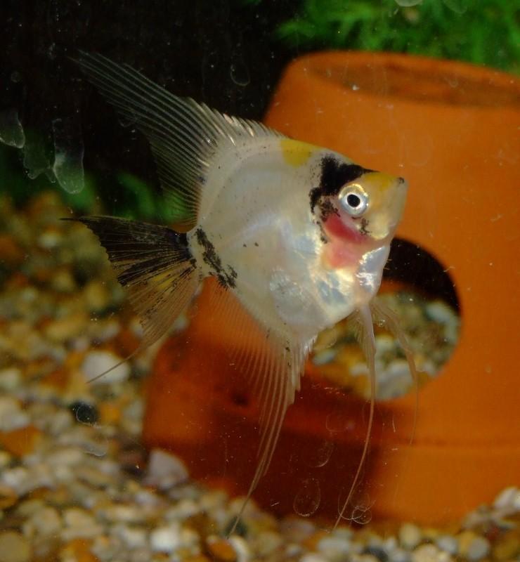 koi Paraiba Angelfish Dscf0614