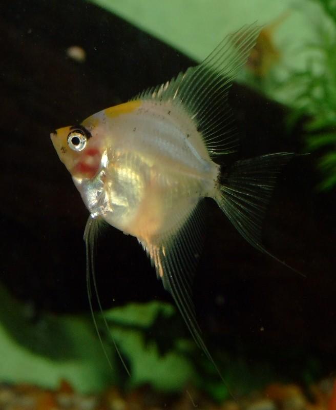 koi Paraiba Angelfish Dscf0615