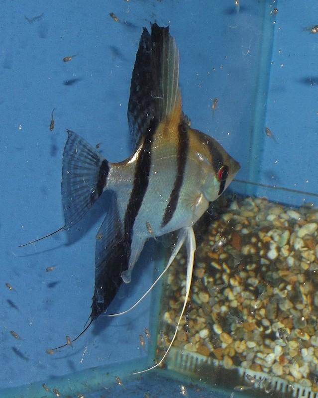 koi Paraiba Angelfish Dscf1624