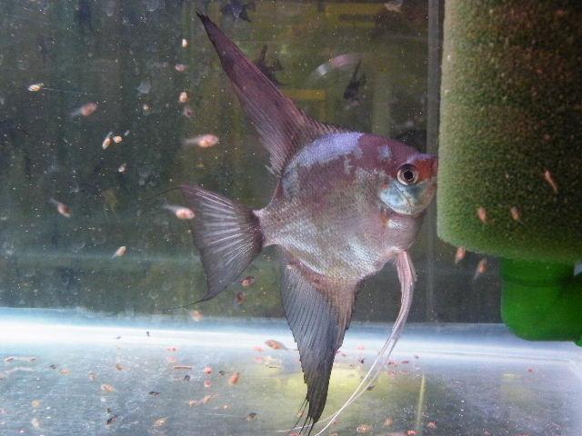 A Few Angelfish images Dscf1710