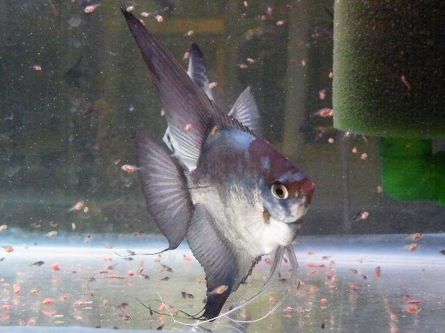 A Few Angelfish images Dscf1711