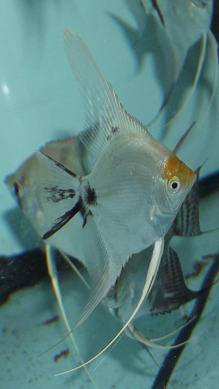 Some of my Angelfish Stock available at the moment with images Dscf2033