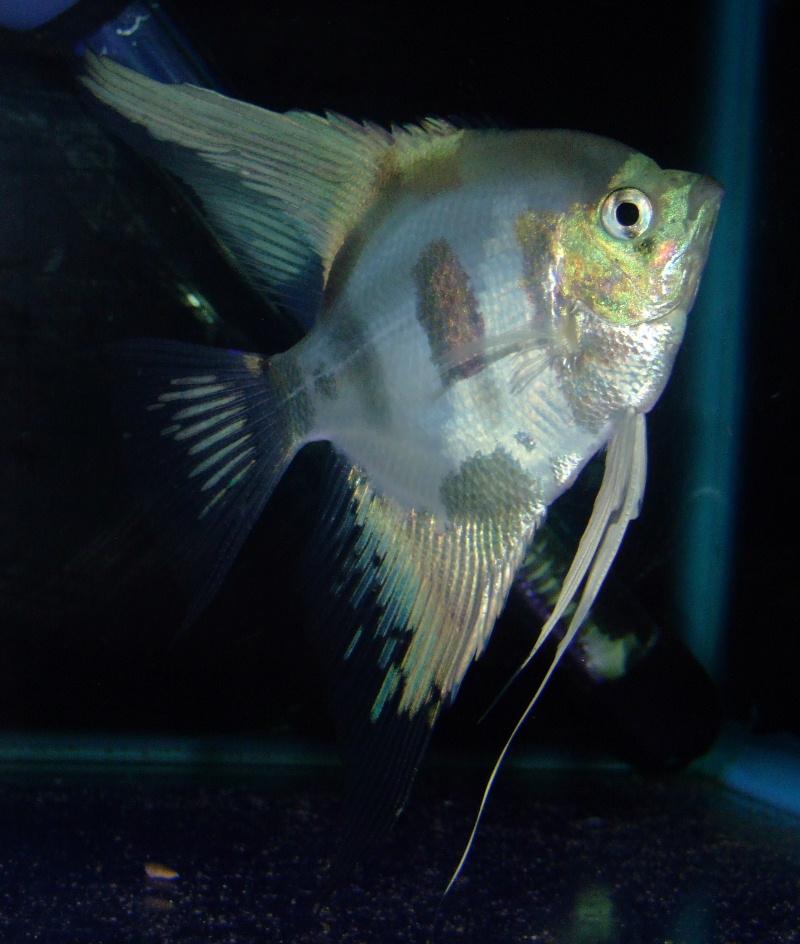 A Few Angelfish images Dscf9610