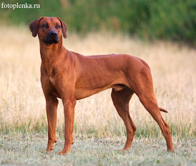 Кто знает, какой породы собачки? 12073210