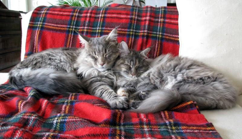 Flippa et Felix, Chats Maine Coon à la recherche des copains Flippa11
