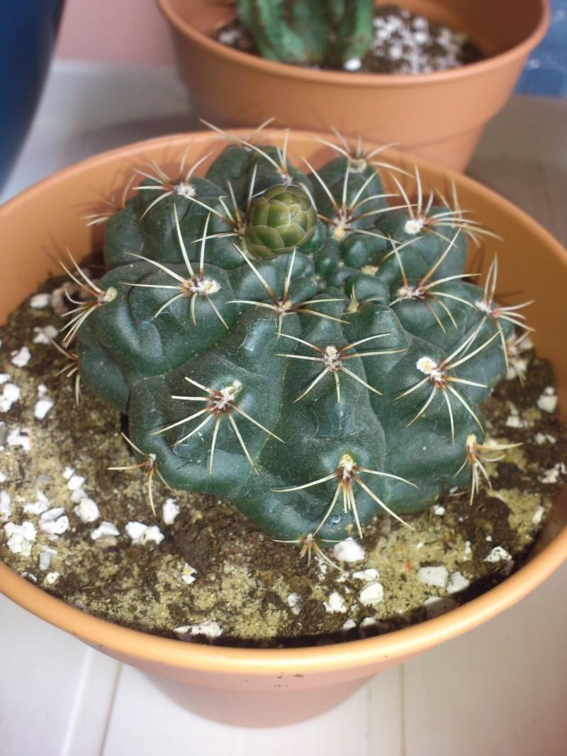 tout petit bourgeon floral sur cet inconnu [Gymnocalycium baldianum] Dsc_0424