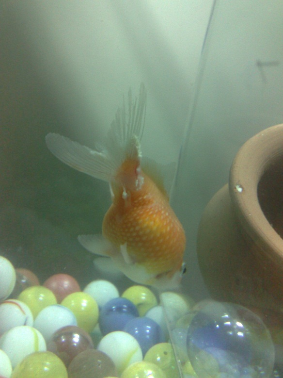 Perscale Goldfish' tail disappeared My_pic11