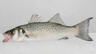 la vie des poissons - الأسماك Dicent13