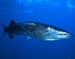 la vie des poissons - الأسماك Drsp_i11
