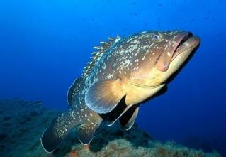 la vie des poissons - الأسماك Merou-10