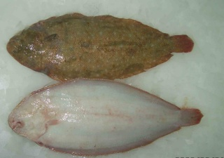 la vie des poissons - الأسماك Rubio10