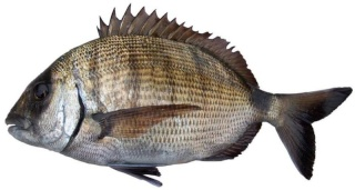 la vie des poissons - الأسماك Sar_8017