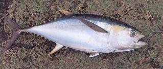Le thon -سمك التونة   Thon-g10