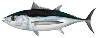 Le thon -سمك التونة   Thon_g10