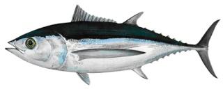 la vie des poissons - الأسماك Thon_g11