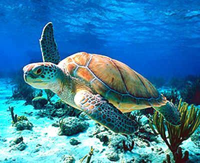 الحـــاة البحريــة  Turtle10