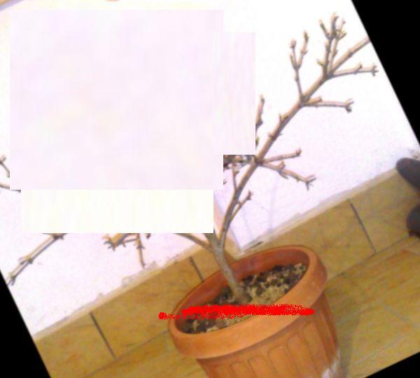 Potatura Melograno 12032010