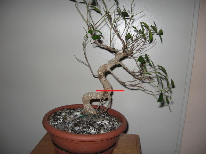 Ficus Retusa....lo abbasso ?? Img_5610