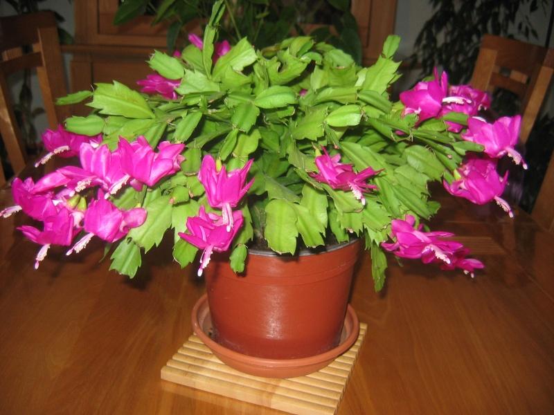 cactus de noel en fleur 00115