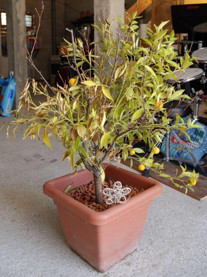 Mandarinier en petite forme Manda110