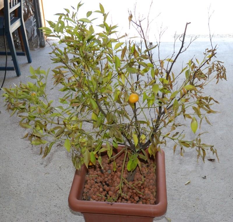 Mandarinier en petite forme Manda510