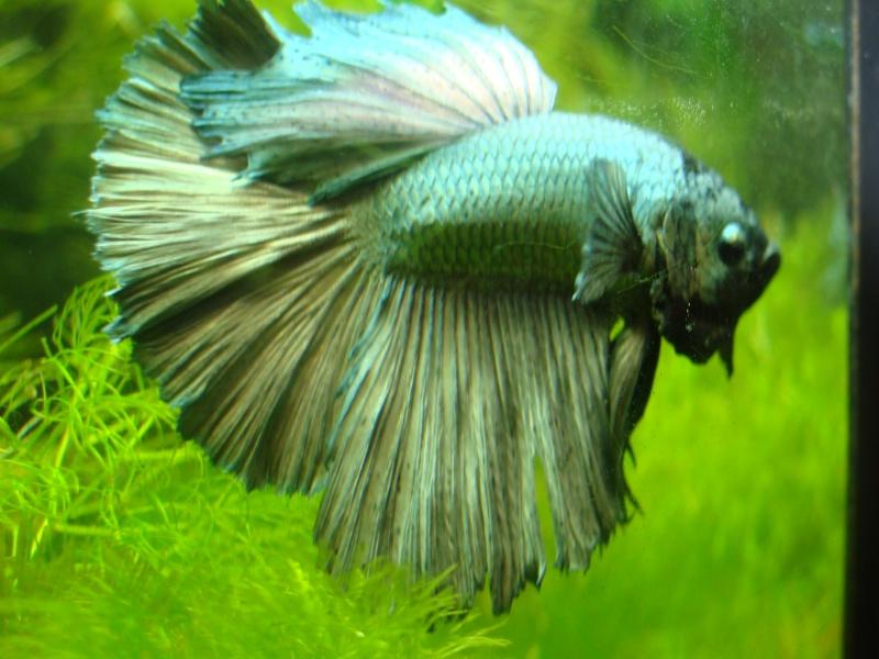 Ma repro de mon mâle copper et ma femelle armadillo Dsc06821