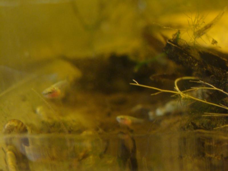Ma repro de mon mâle copper et ma femelle armadillo Dsc07016