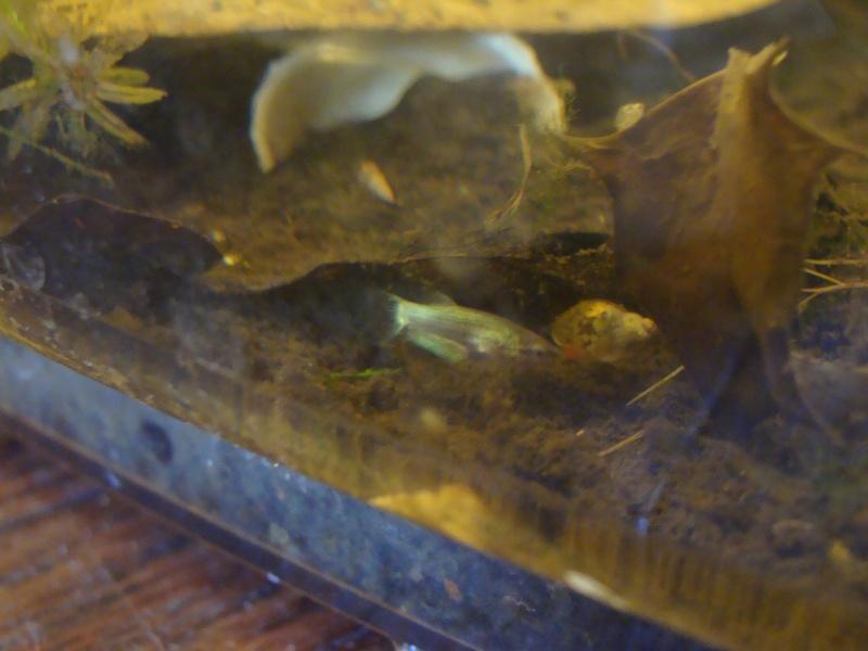 Ma repro de mon mâle copper et ma femelle armadillo Dsc07111