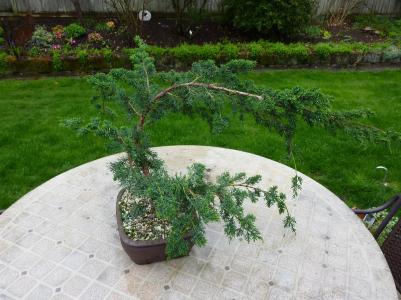 new (never wired or pruned) juniper. need help My_bon10