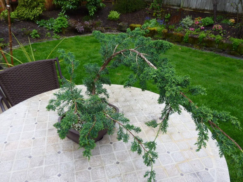 new (never wired or pruned) juniper. need help My_bon11