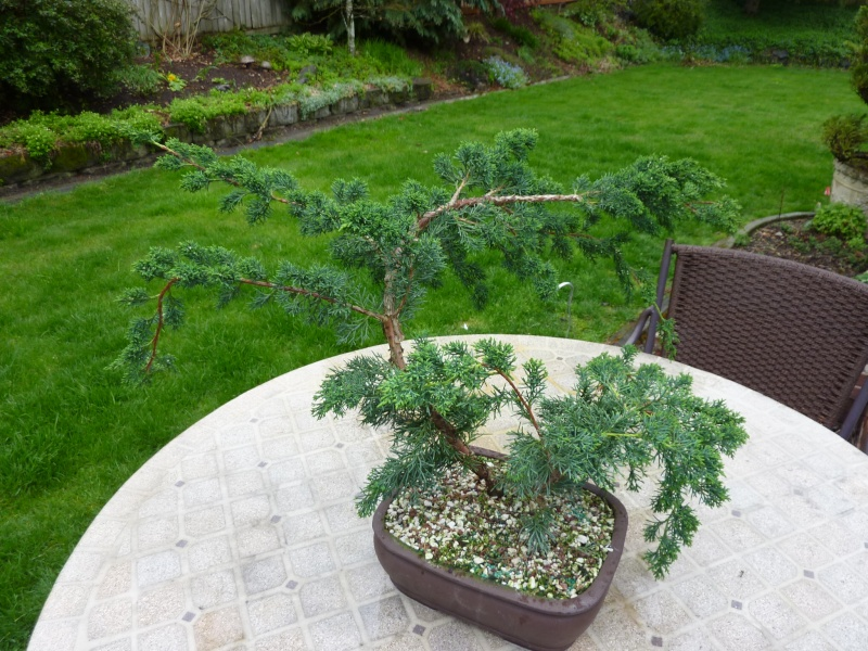 new (never wired or pruned) juniper. need help My_bon12