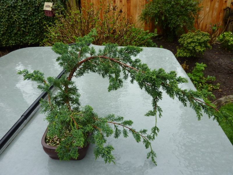 new (never wired or pruned) juniper. need help My_bon13