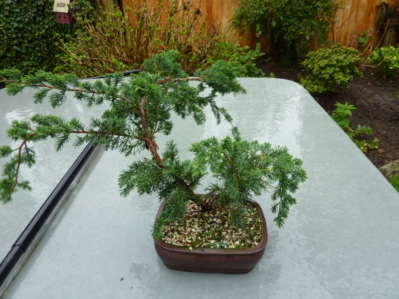 new (never wired or pruned) juniper. need help My_bon14