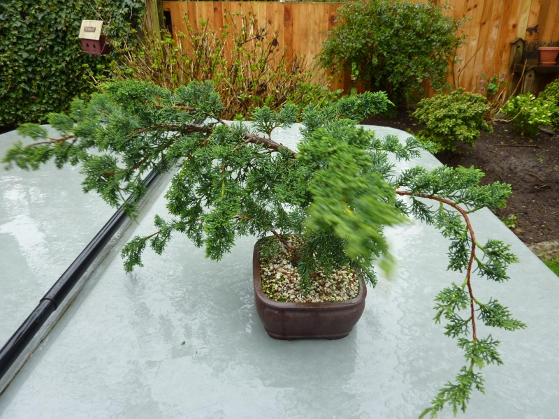 new (never wired or pruned) juniper. need help My_bon15