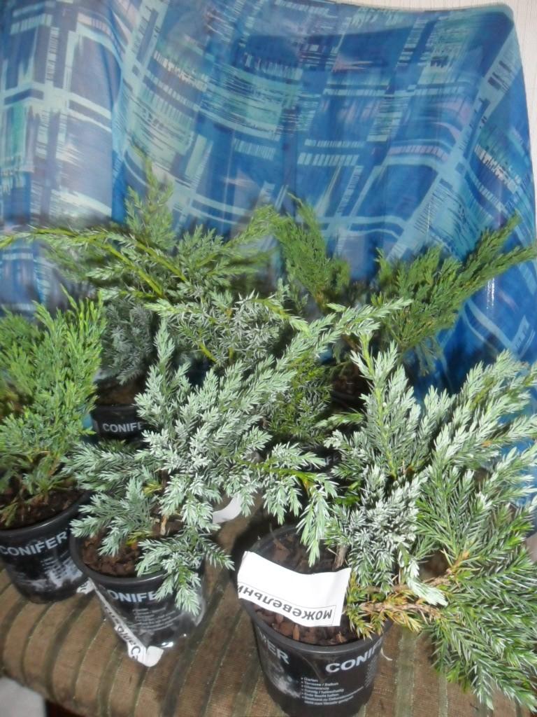 Растения полученные из Тюмени. Отзывы, хвасты!!! Sam_3311