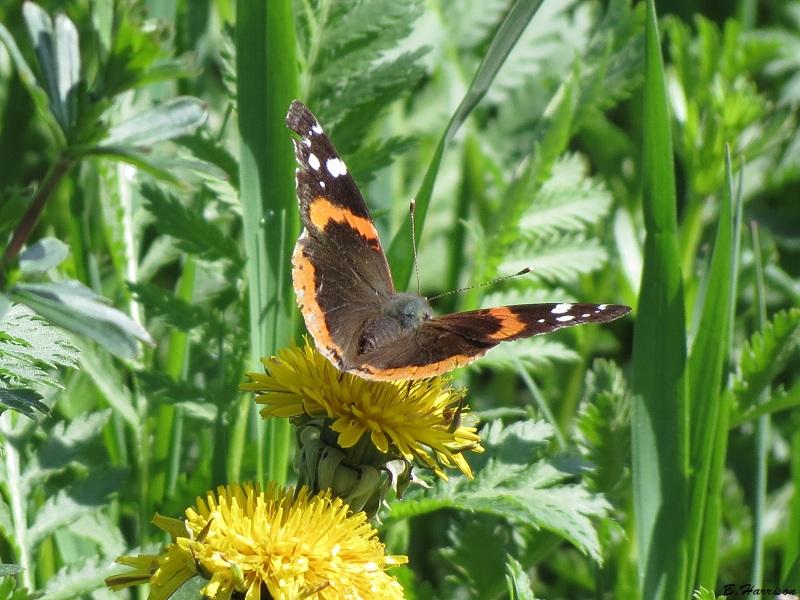 Papillon Vulcain Papill11