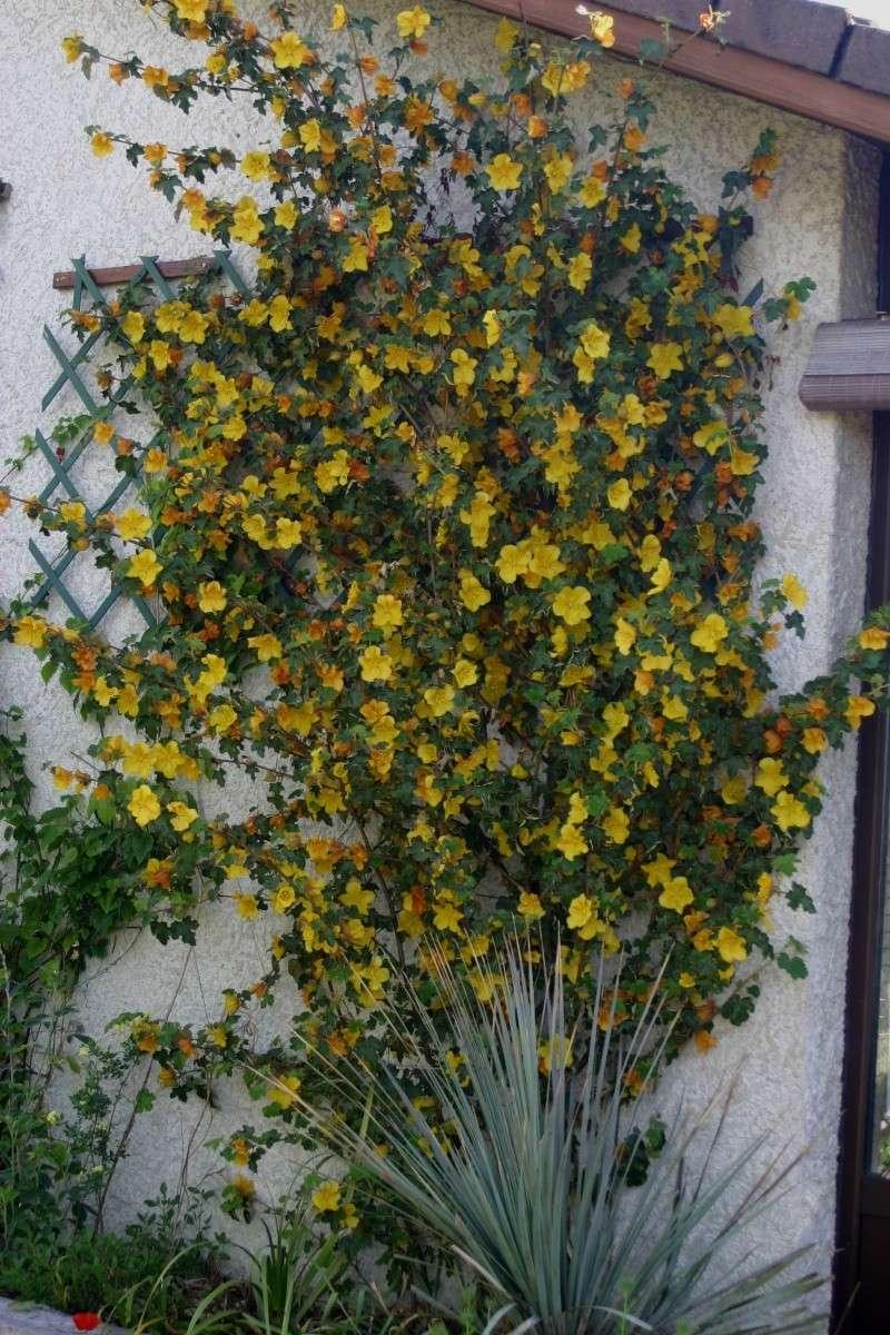 Fremontia californica , Fremontodendron Fremon10