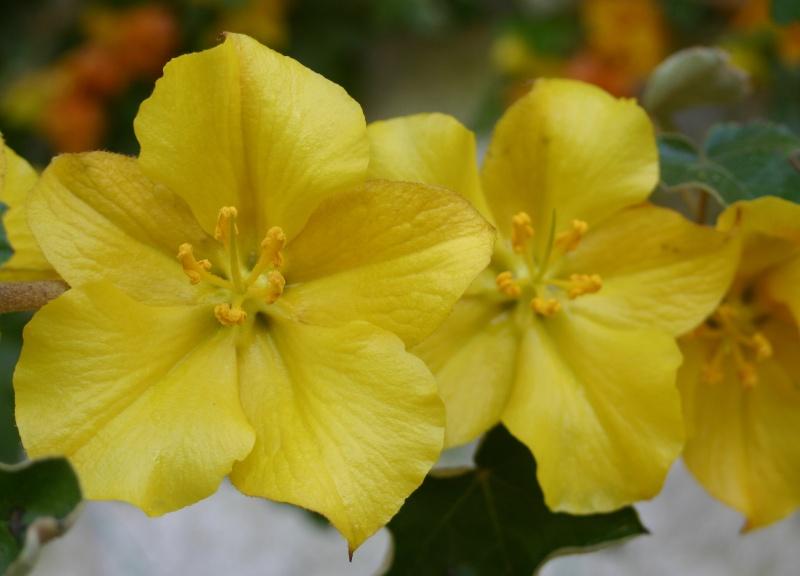 Fremontia californica , Fremontodendron Fremon11