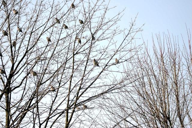 les visiteurs à plumes sauvages - 1 - Page 3 Jaseur10