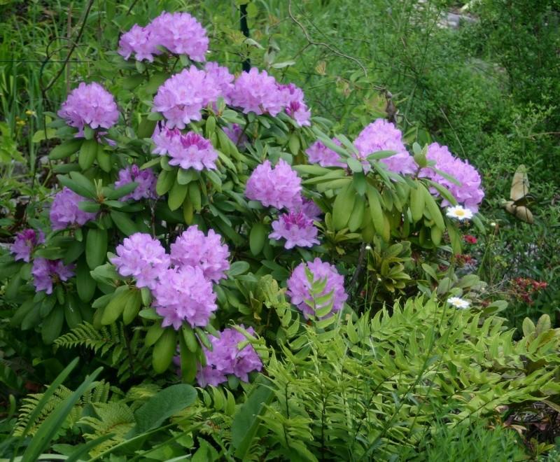 rhododendron R_cata10