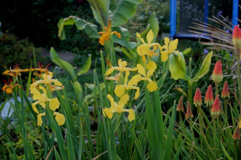 iris spuria Spuria10