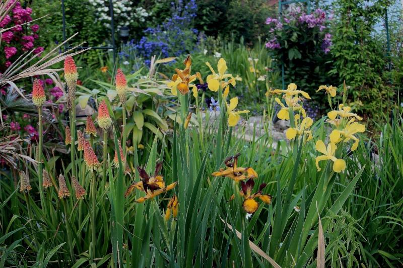 iris spuria Spuria11
