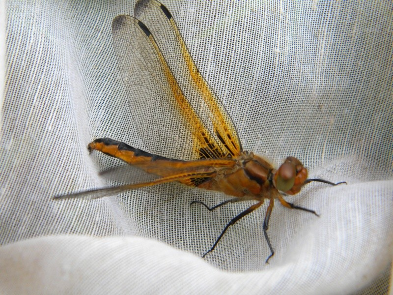 libelllule fauve Lib411