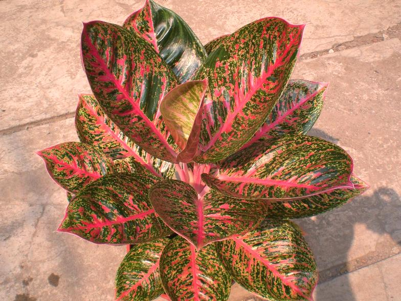 un expert en aglaonema, please Aglaon18