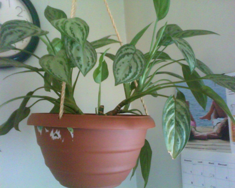 un expert en aglaonema, please Aglaon23