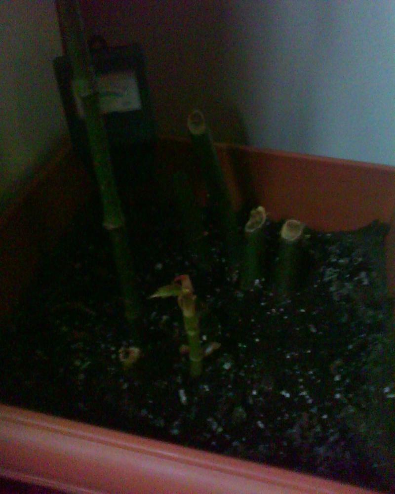 voici ma liste de mes bégonias!!! Bambus11