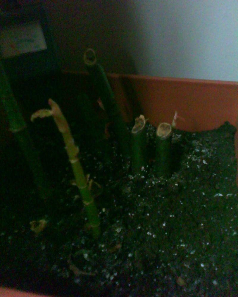 voici ma liste de mes bégonias!!! Bambus12