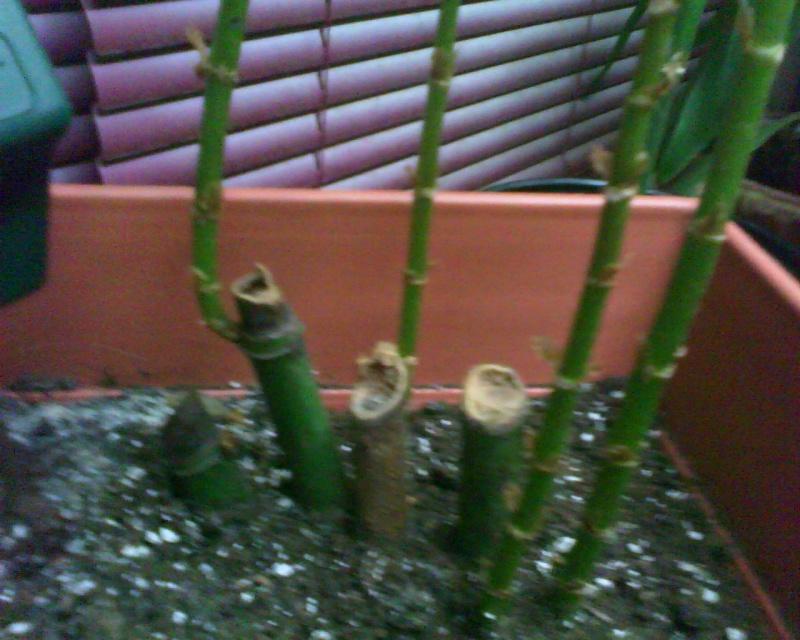 voici ma liste de mes bégonias!!! Bambus16