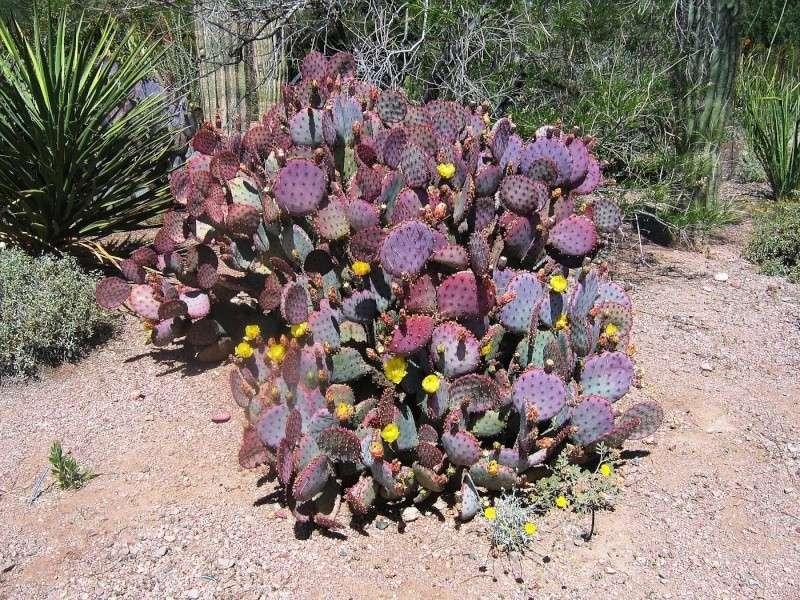 Opuntia!! un jour tu sera grand Cactus10